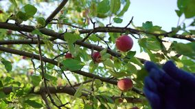 Femmina del primo piano in grembiule blu ed in guanti di giardinaggio che raccolgono le mele video d archivio