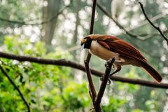 Femmina del Raggiana Uccello-de-Paradise fotografia stock libera da diritti
