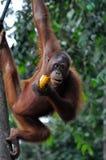 Femmina dell'orangutan Fotografie Stock Libere da Diritti
