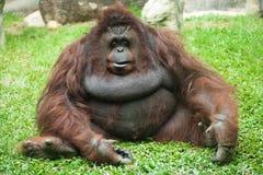 Femmina dell'orangutan Fotografia Stock