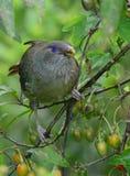 Femmina dell'uccello di capanna del raso Fotografia Stock Libera da Diritti