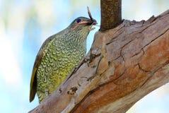 Femmina dell'uccello di capanna del raso Fotografia Stock