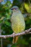 Femmina dell'uccello di capanna del raso Fotografie Stock