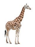 Femmina della giraffa su bianco Fotografie Stock Libere da Diritti