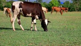 Femmina della mucca sul campo di erba stock footage