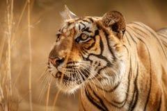 Femmina della tigre ad una bella luce nell'habitat della natura del parco nazionale di Ranthambhore Immagini Stock