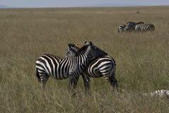 Femmina della zebra Fotografia Stock Libera da Diritti