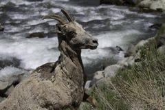 Femmina delle pecore Bighorn (canadensis del Ovis) Immagini Stock Libere da Diritti