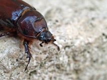 Femmina dello scarabeo di rinoceronte fotografia stock libera da diritti