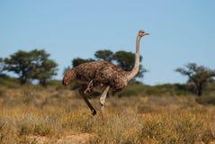Femmina dello struzzo (camelus dello Struthio) Immagine Stock
