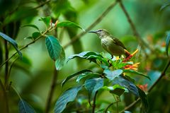 Femmina di bello uccello di cyaneus dalle zampe rosse di Honeycreeper Cyanerpes da Costa Rica Scena della fauna selvatica dalla f fotografia stock libera da diritti