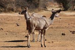 Femmina di Kudu Fotografie Stock Libere da Diritti