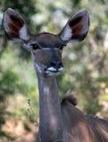 Femmina di Kudu nel bushveld Fotografia Stock Libera da Diritti