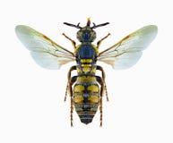 Femmina di mongolica di tartara di Crioscolia della vespa Fotografie Stock