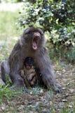Femmina di ribaltamento con la giovane scimmia di Barbary, Macaca Sylvanus, montagne di atlante, Marocco Fotografia Stock Libera da Diritti