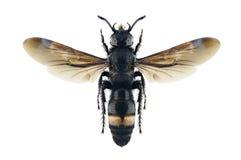Femmina di schrenkii di Scolia della vespa Fotografia Stock Libera da Diritti