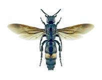 Femmina di schrenkii di Scolia della vespa Fotografie Stock Libere da Diritti