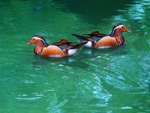 Femmina due dell'anatra di mandarino che galleggia sulla chiara acqua Fotografia Stock Libera da Diritti