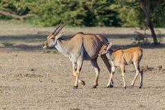 Femmina e Fawn comuni di eland fotografie stock libere da diritti