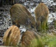 Femmina e porcellini selvaggi del maiale nel fango Fotografia Stock Libera da Diritti