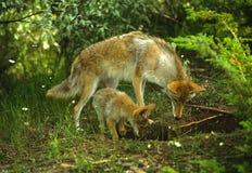 Femmina e Pup del coyote fotografia stock libera da diritti