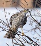 Femmina euroasiatica dello sparrowhawk appollaiata in cespuglio fotografia stock