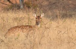 Femmina macchiata dei cervi Chital/Cheetal (asse di asse) in un pascolo a Ranthambhore Fotografie Stock