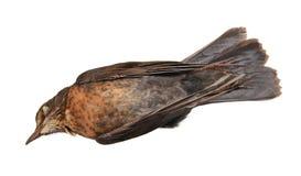 Femmina morta del merlo Fotografia Stock Libera da Diritti