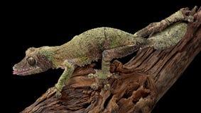 Femmina muscosa del gecko sulla filiale fotografia stock
