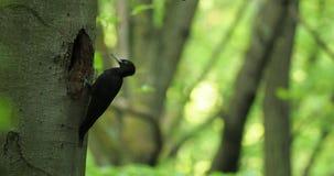 Femmina nera cerny del picchio di DATEL del picchio nero - martius di Dryocopus - che si siede sul tronco di albero accanto al fo video d archivio