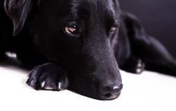 Femmina nera del labrador con gli occhi marroni Immagine Stock