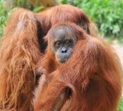 Femmina premurosa dell'orangutan Fotografie Stock Libere da Diritti