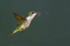 femmina Rubino-throated del colibrì Fotografie Stock