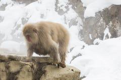 Femmina selvaggia della scimmia della neve con il bambino sotto Immagini Stock Libere da Diritti
