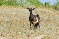 Femmina sola della capra su un pascolo Fotografia Stock