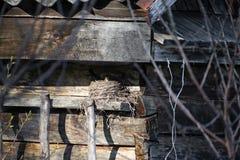 Femmina sui pilaris del Turdus del nido L'uccello si siede sul nido, uccello con il becco giallo, riscaldamento dell'uovo fotografie stock