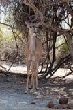 Femmina verticale di kudu Fotografia Stock Libera da Diritti
