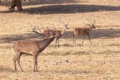 Femmine del maschio e dei cervi dei cervi nobili fotografia stock