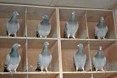 Femmine del piccione in un dovecot Fotografia Stock Libera da Diritti