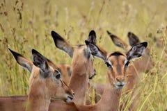 Femmine dell'impala Fotografie Stock Libere da Diritti