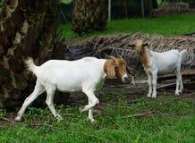 Femmine di bianco della capra Immagine Stock