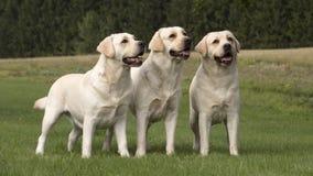 Femmine di Labrador Fotografia Stock