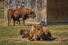 Femmine e vitelli europei del bisonte Fotografia Stock Libera da Diritti