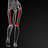 Femur bone Stock Photography