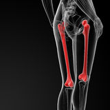 Femur bone Stock Photo