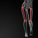 Femur bone Royalty Free Stock Photos
