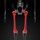 Femur bone Stock Images