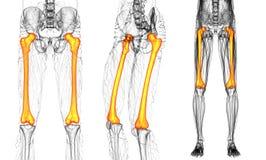Femur bone. 3D rendering medical illustration of the femur bone stock images