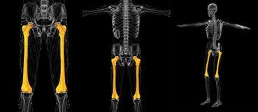 femur bone vector illustration