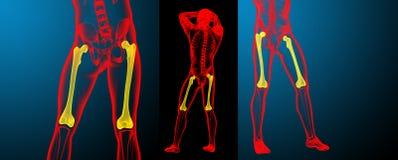 femur bone stock illustration